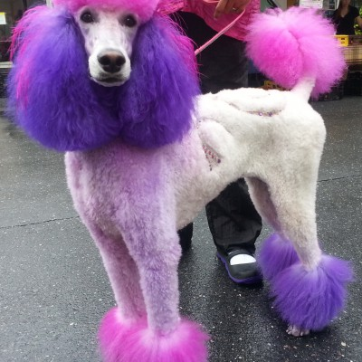 Colorful Standard Poodle
